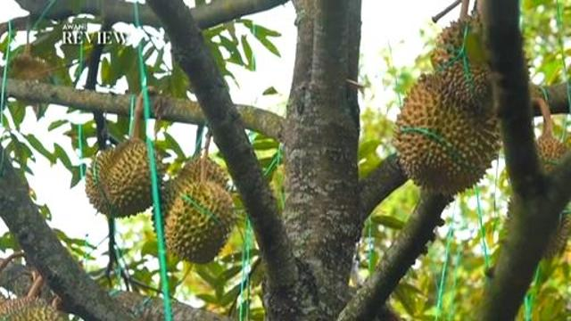 AWANI Review examines the country's largest durian exporter | Astro Awani